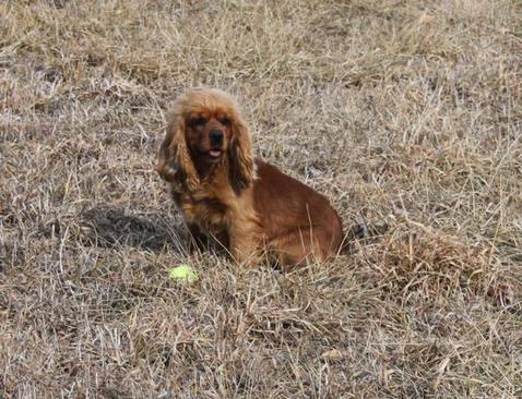 Triple A-BC Pups | Cockapoos for Sale | Cavapoo Breeders